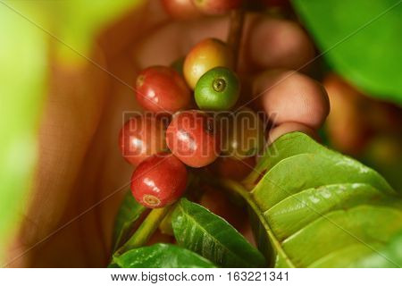 Close up of hand with raw red and green  coffee beans