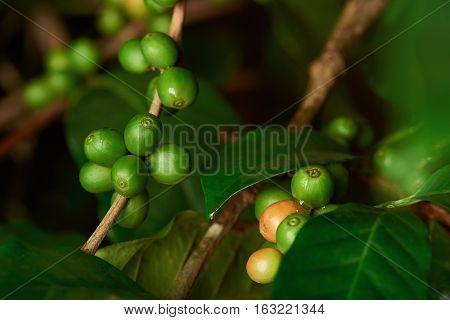 raw green  coffee beans closeup on tree branch