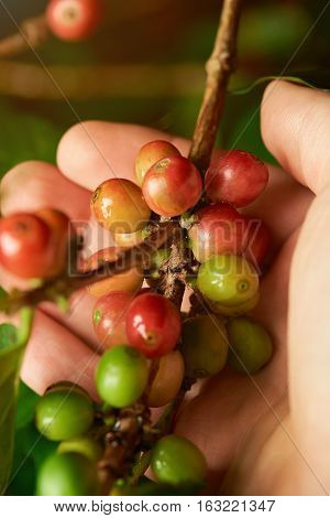 Coffee branch in farmer hand close up with unpicked coffee beans