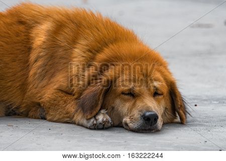 Lonely stray dog lying on the ground