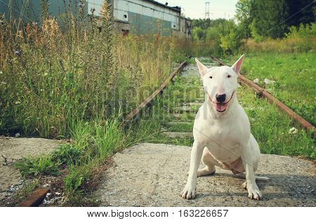 White Bull terrier on nature in the summer