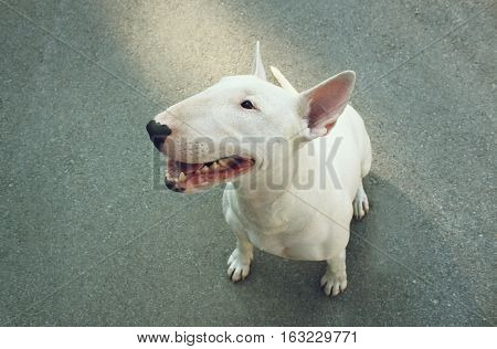 English bull Terrier - in the summer
