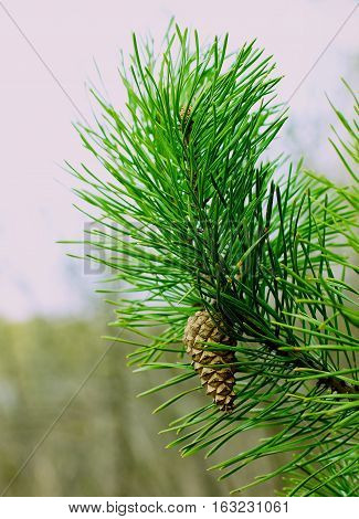Closed Pine Cone into Green Fir Branches Outdoors on Blurred Natural background. Focus on Fir Cone