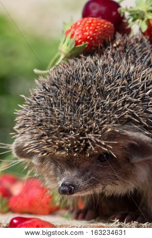 closeup pretty young hedgehog Erinaceus europaeus with cherry and strawberry on thorns. Vertical composition. Selective focus