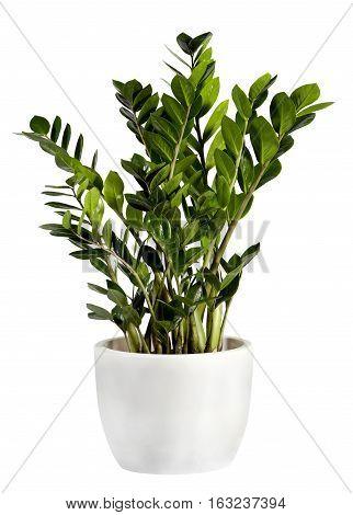 Zamioculcas Houseplant