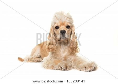 Cute blond adult cocker spaniel dog lying down on the white floor facing the camera isolated on a white background