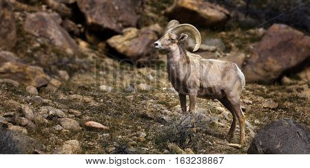 Big Horn Sheep. Single Ram at Walker Lake, Nevada