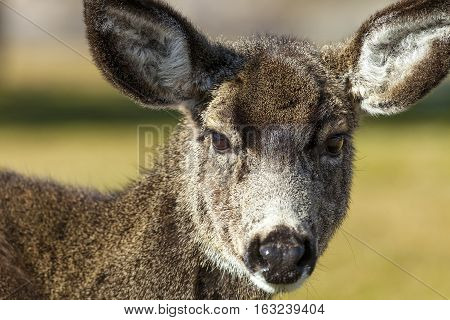 Mule Deer Close up in woodlands portrait