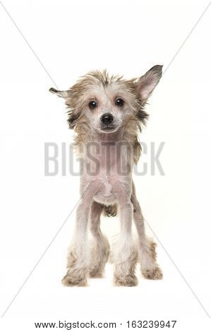 Cute blond naked chinese crested dog standing and facing the camera isolated on a white background