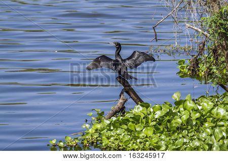 Indian cormorant in Thabbowa sanctuary in Puttalam, Sri Lanka ; specie Phalacrocorax niger family of Phalacrocoracidae