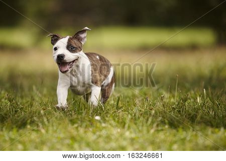 Baby Staffordshire bull terrier dog in park