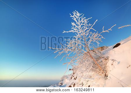 Dwarf birch growing on the mountainside. Frosted tree against the blue sky.
