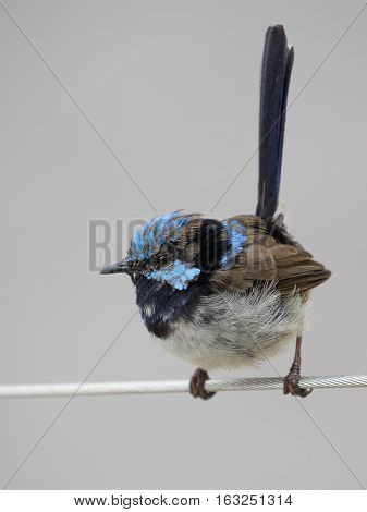 little bird with blue feathers on the head of the detachment voroinyh sitting on a wire Australia