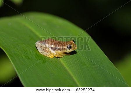 Spotted Madagascar Reed Frog, Andasibe Madagascar