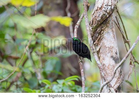 Endemic Bird Velvet Asity Madagascar