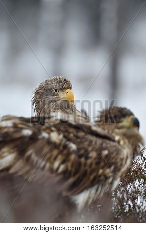 White-tailed eagle peeking out from behind of other eagle
