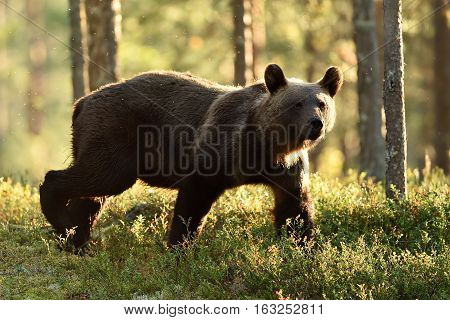 Backlit brown bear. Brown bear walking in backlit at summer. Bear in backlight.