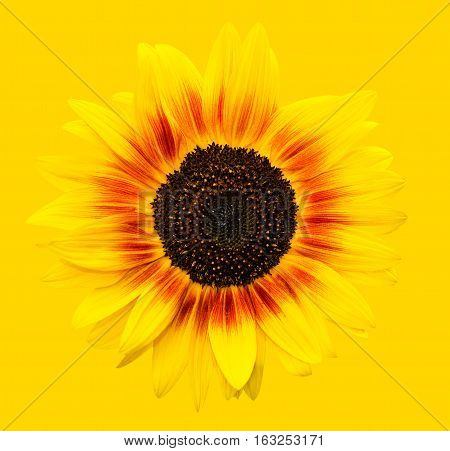Bright yellow sunflowers head on yellow background. Yellow sunflower almost disappeared or merged with the background. Summer flowers. Natural sunflower on a sunny background with copy space