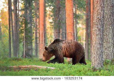 Brown bear walking in a forest landscape. Summer. Evening sun. Sunset.