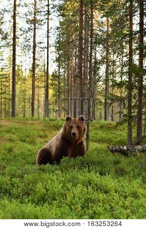 European brown bear (Ursus arctos) in a forest landscape