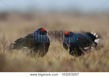 Pair of black grouse in the bog. Black grouse game. Roosters.