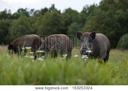 Herd of wild boars. Wild pigs wild boars.