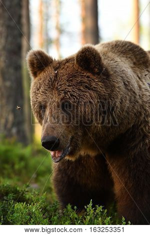 European brown bear portrait. Grizzly portrait at summer