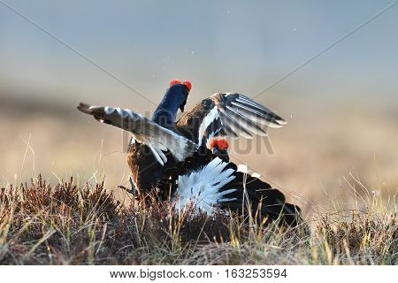 Black grouse fight in the bog at spring