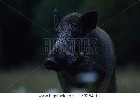 Wild boar portrait at summer night, Estonia
