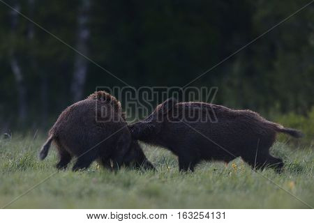 Wild boar fight. Wild boar attack. Wild boar action.