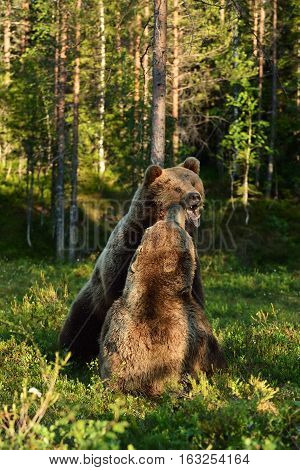 Aggressive bear. Angry bear. Bear fight. Bear aggression. Animal fight.