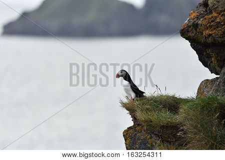 Atlantic puffin standing on the edge of a cliff beak full of fish.