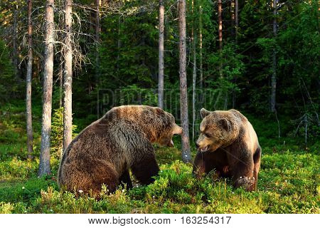 Angry bear. Aggressive bear. Bear fight. Bear aggression. Animal fight.