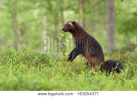wolverine standing in a forest landscape at summer