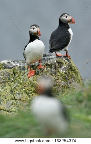 Puffin on the stone. Puffin on Iceland.