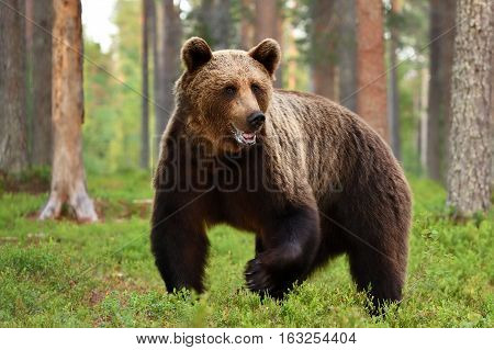 Brown bear (ursus arctos) in forest. Grizzly.