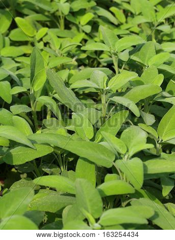 Background Of Green Leaves Of Sage Aromatic Plant Typical Of Ita