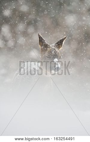 Roe deer in the snowstorm. Roe deer on snow. Roe deer in winter.