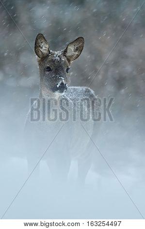 Roe deer in snow at snowfall in winter