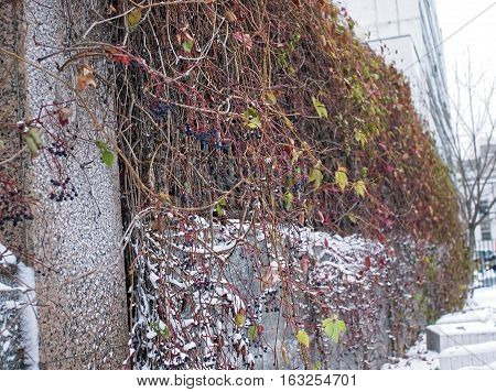 Hedge winter in Moscow near the office building