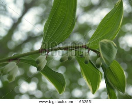 Variegated Solomon'S Seal From Below (Polygonatum Falcatum)