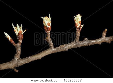 Pear Twig With Buds