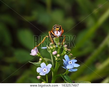 Wasp On Flowers Front View
