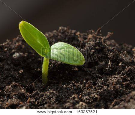 Cucumber Sprout