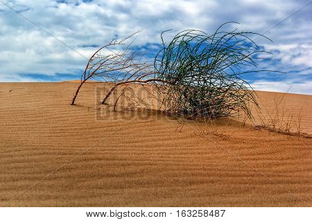 Wild bush in dune desert against the backdrop of a cloudy sky