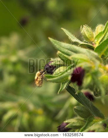 Feeding Bee-fly