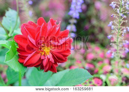 Chrysanthemum flowercloseup of red Chrysanthemum flower in full bloom