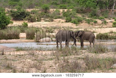 Two elephants in the Sabie River in Kruger National Park, South Africa