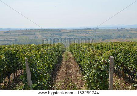 Path Through Vineyard