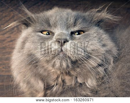 Portrait of a funny gray cat. The British fold cat fluffy with tufts on the ears